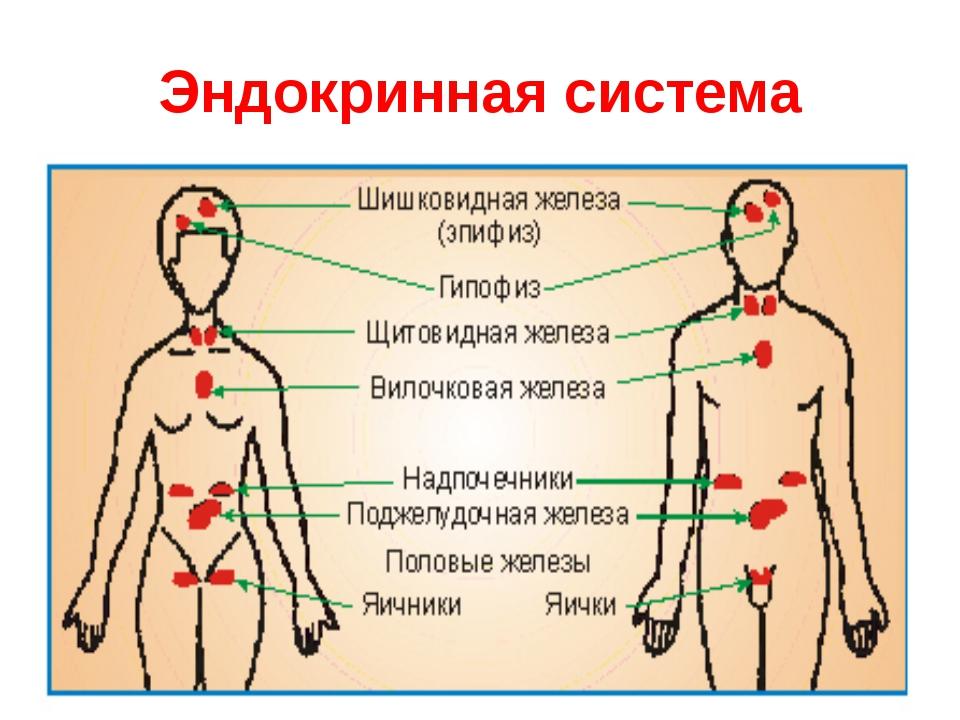 Эндокринная система и духовный план. Роль эндокринной системы. Ведическая концепция здоровья. Урок 8